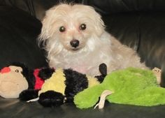 Doodle is an adoptable Maltese Dog in Durham, NC. Doodle  Breed: Maltese  Age: 10 years  Color/Markings: White  Gender: Male/Neutered  History: Doodle was pulled from a local shelter where after he wa...