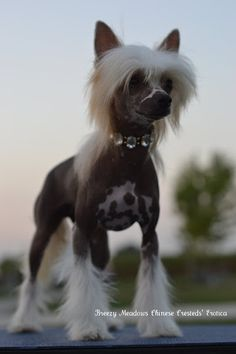 "AKC Chinese Crested hairless female ""Bunny"" my special little girl.   www.facebook.com/..."