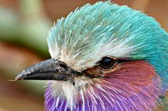 close up Lilac Breasted Roller, Beautiful Birds, Pet Birds, Close Up, Rollers, Animals, Color, Explore, Watch
