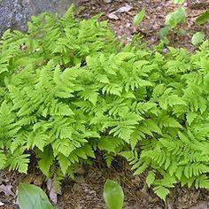 Plant form: Gymnocarpium dryopteris. ~ Oak fern Patterson. ~ Copyright © 2015 Bruce Patterson. ~ foxpatterson[at]comcast.net