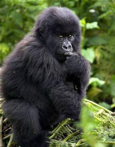 Gorilla safari in Rwanda.