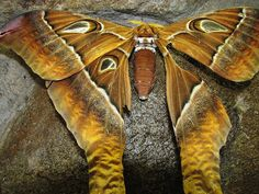 Moths   the hercules is one of the largest moth species in the world with a ...