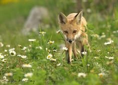 Red Fox by Shayna Hartley on 500px
