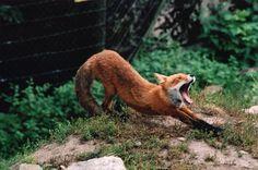 C'est alors qu'apparut le renard | Flickr - Photo Sharing!