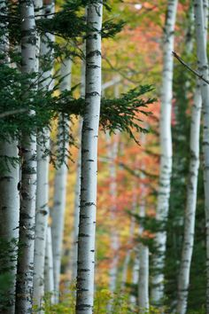 18 Trendy Birch Tree Photography Nature Black And White Birch Forest, Tree Forest, Birch Trees, Forest View, Evergreen Trees, Into The Fire, Aspen Trees, Tree Photography, Camping Photography