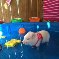 House Trained TeaCup Pigs World Wide – animalhomeonline.You can find Teacup pigs and more on our website.House Trained TeaCup Pigs World Wide – animalhomeonline. Baby Animals Pictures, Cute Animal Pictures, Animals And Pets, Farm Animals, Cute Baby Pigs, Cute Piglets, Baby Piglets, Cute Little Animals, Cute Funny Animals