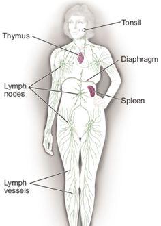 lymphatic system organs yahoo dating