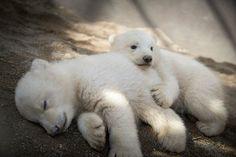 Twin polar bear cubs celebrate first birthday at Columbus Zoo | WBNS-10TV Columbus, Ohio | Columbus News, Weather & Sports