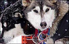 Iditarod Dogs