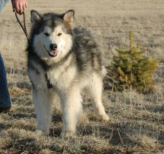 alaskan malamute puppies   Alaskan Malamute Puppies For Sale -Mals We've Produced - Page 8