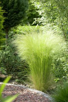 Stipa tenuissima - Mexican Feather Grass. Turns gold in autumn