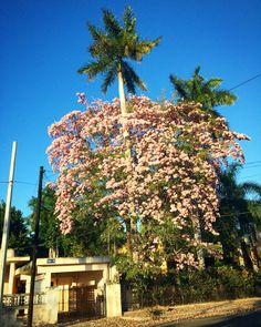 Makulis rosa. #Mérida