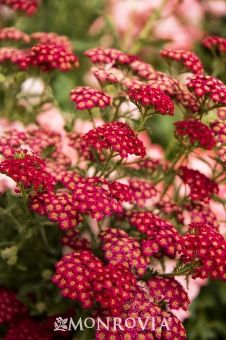 Red Velvet Yarrow - Rich, velvety red flowers are the most fade resistant to date. Tall stalks hold the flat clusters above the ferny gray-green foliage. Easy to grow, drought tolerant and attractive to butterflies. Water Wise Landscaping, Landscaping Plants, Full Sun Perennials, Flowers Perennials, Sun Plants, Garden Plants, Red Poppies, Red Flowers, Achillea Millefolium