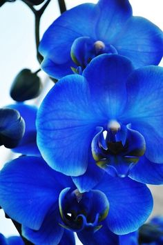 Blue orchids- these are fake color. (nice though) they water white orchids with food coloring before they bloom. there ARE real blue orchids, but not this pecies. Colorful Roses, Exotic Flowers, Amazing Flowers, My Flower, Beautiful Flowers, Beautiful Pictures, Orchid Flowers, Beautiful Gorgeous, Moth Orchid