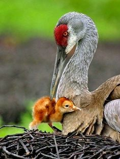 Beautiful crane and her chick.