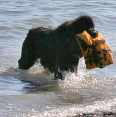 These wonderful dogs are amazing Newfoundland Rescue Dogs