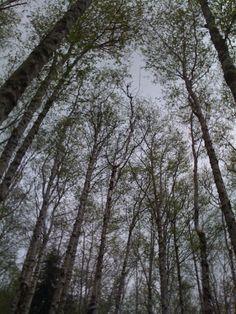cotton woods in coastal range Climbing, Woods, Coastal, Hiking, Range, Snow, Plants, Cotton, Outdoor