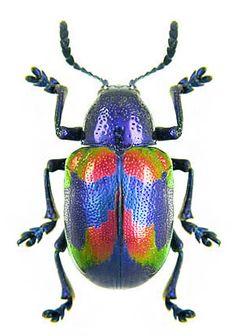 Platycorynus undatus