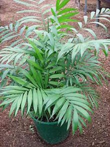 The Parlor Palm Tree, scientific name Chamaedorea elegans, is native to Guatemala. It is a small slow growing palm great for small gardens. It also one of the best indoor plants. This palm is very … Indoor Palms, Best Indoor Plants, Florida Palm Trees, Small Yellow Flowers, Green Fruit, Perfect Foundation, Different Plants, Cherry Tree, Growing Tree