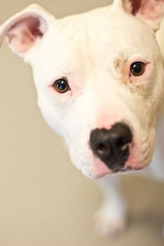 Pearl ♥ She looks very sweet. She is up for adoption in Lincoln Nebraska, click link to the shelter.
