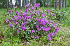 Rhododendron P. Mezzit, Finland by Heikki Rantala Finland, Gardening, Plants, Fun, Lawn And Garden, Plant, Planets, Horticulture, Hilarious