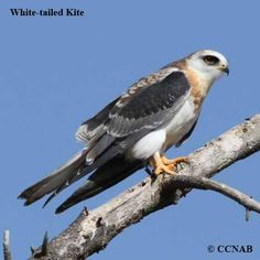 Birds of North America - White Tailed Kite