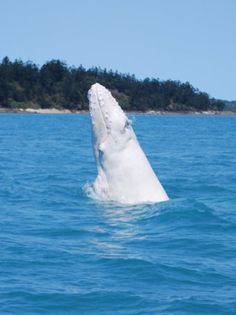 White humpback whale calf seen off the Whitsundays