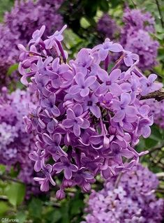 Syringa Vulgaris Plants, Garden, Front Garden, Purple Garden, Perennials, Shrubs, Flowers, Syringa Vulgaris, Garden Plants