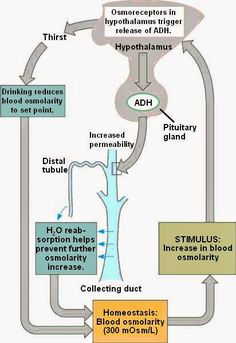 Pathophysiology terminology chapter 06 fluid electrolyte and usmle comlex study guides first aid renal physiology part ll fandeluxe Images
