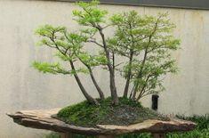 bonsai pots, bonsai slabs, bonsai, cypress bonsai
