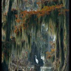 Beautiful Lake Martin (Swamp Home - South Louisiana Cajun swamp image featuring a Great Blue Heron in a Bald Cypress forest with Spanish Moss) by Kerry Griechen - My Eye Photography Louisiana Swamp, Louisiana Art, Lafayette Louisiana, Foto Nature, All Nature, Beautiful World, Beautiful Places, Spanish Moss, Jolie Photo