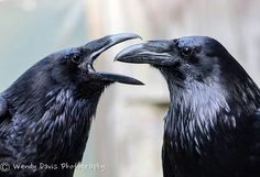 Your daily ravens by Wendy Davis Photography