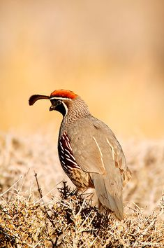 The Gambel's Quail (Callipepla gambelii) is a small ground-dwelling bird in the New World quail family. It inhabits the desert regions of Arizona, California, Colorado, New Mexico, Nevada, Utah, Texas, and Sonora; also New Mexico-border Chihuahua and the Colorado River region of Baja California.