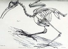 Drawing of bird skeleton on a branch