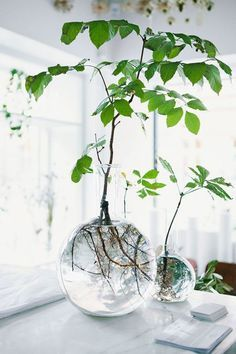 The simplest, most beautiful floral trend: rooting plants in water. All you have to do is snip a plant at the base of a leaf and place it in fresh spring water in a glass vase.