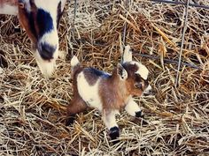 miniature goat gave birth to a miniature miniature goat - that can NOT be real. CAN. NOT. Way too cute!!