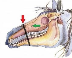 Choose the best bitless bridle for your horse. Where to measure for your noseband