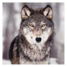 LAYA Plexiglas® wolf picture 120 x 120cm