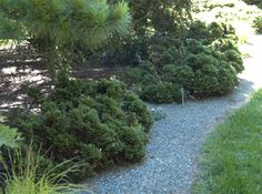 Image of Thuja occidentalis. Thuja occidentalis (American arborvitae) (shown at right) and Thuja plicata (western red cedar) are both native conifers and are extremely adaptable plants. Both species have many cultivar selections that vary in color and habit. Tolerant of damp or dry soils, they require filtered sun or high shade to survive.