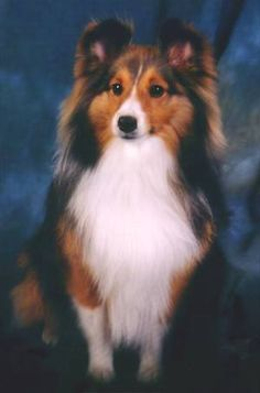 images of cats with sheltie dog - Google Search