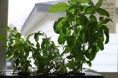windowsill hydroponic herb garden