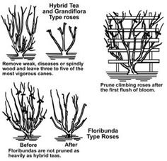 """Gardening Roses pruning roses_mini - Learn everything about """"Growing Roses"""" in 30 Amazing and Educative diagrams. Pruning Climbing Roses, Pruning Roses, Pruning Shrubs, Rose Bush Care, Rose Care, Winter Plants, Winter Garden, Floribunda Roses, Winter Vegetables"""