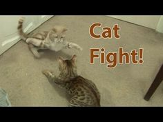 Cat Fight! Bengal Kitten introduced to Adult Cat Part 3