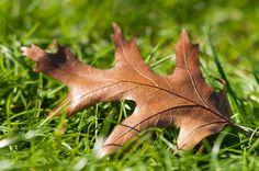Laub auf dem Rasen, Herbst, Blatt einer Amerikanischen Eiche, Eichenlaub, Vergänglichkeit, Naturkreislauf