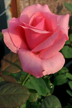 Pink rose,