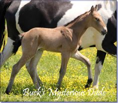 For Sale - BUCK'S MYSTERIOUS DUDE #pend - beautiful golden buckskin Tennessee Walking Horse colt, by The Buck Starts Here X Mack's Mystery Lady.  Dude is a big, beautifully conformed colt who should grow to 15.1 to 15.2 HHs. Foaled 05/11/2013. For something really grand, consider Buck's Mysterious Dude.  Horse is located in Missouri. Priced at $2500 at weaning.  http://www.holmesfarmwalkers.com/BucksMysteriousDude.htm