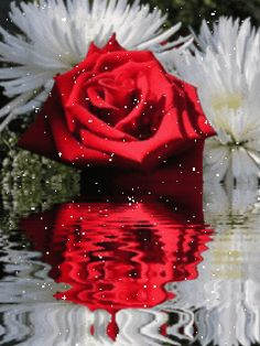 Beautiful red rose and two white flowers near water. Roses Gif, Flowers Gif, White Flowers, Rose Images, Rose Pictures, Hd Rose, Free Animated Gifs, Illusion Photos, Hd Cool Wallpapers