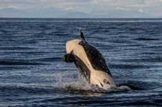 PHOTOS: Transient orcas seen frolicking off Saturna Island Great Whale, Killer Whales, Orcas, Sea, Island, Tags, Conservation, Georgia, Inspirational