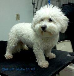Peppy (Bichon) Before a Pet Style  http://www.gooddogsspaandstudio.com