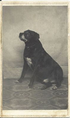 "c.1865 cdv of stocky black dog with leather collar. On verso: 2-cent orange tax stamp with initial ""R,"" no date. Photo by D. W. Robertson, 91 Westminster, St., Prov. R.I. From bendale collection"